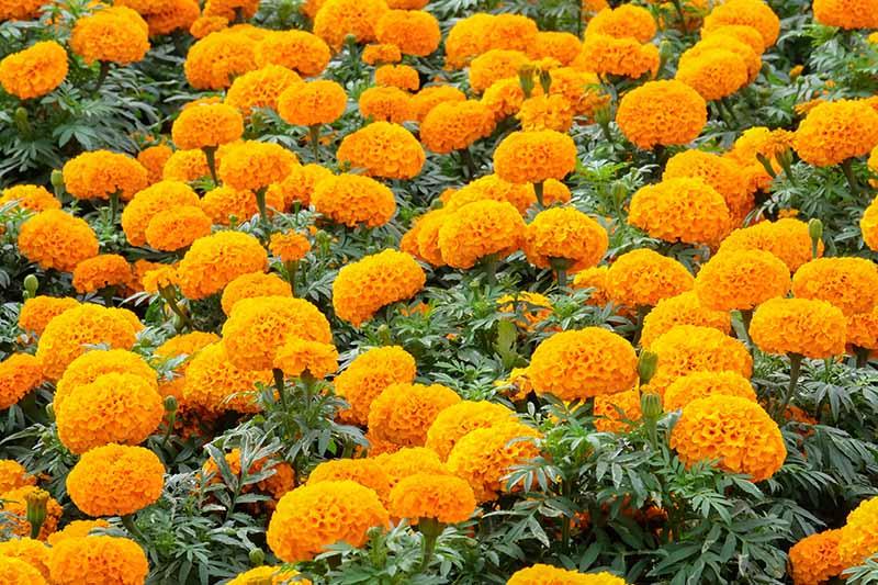 A close up horizontal image of bright orange Tagetes erecta growing en masse in the garden.