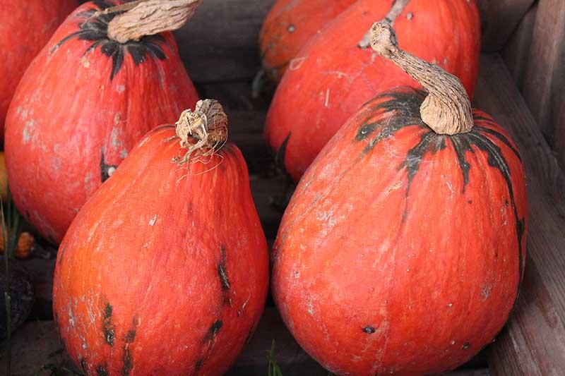A close up horizontal image of bright red 'Lakota' squash in a wooden box.