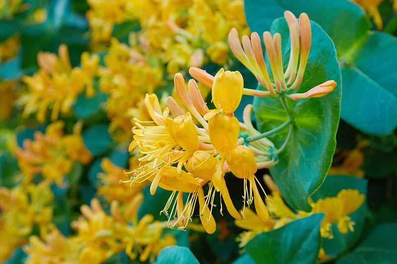 A close up horizontal image of bright yellow honeysuckle flowers growing in the garden pictured on a soft focus background.