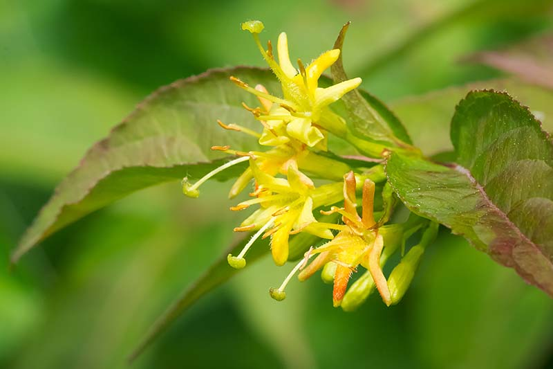 A close up horizontal image of the yellow flowers of Northern bush honeysuckle pictured on a soft focus background.