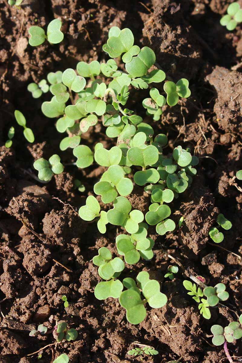 A close up vertical image of rapini seedlings in rich soil growing in the garden.