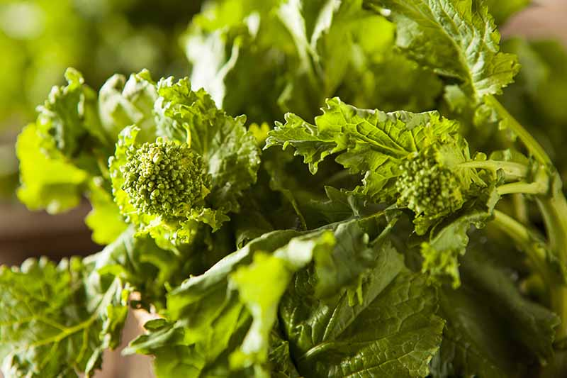 A close up horizontal image of broccoli rabe aka rapini pictured in light sunshine on a soft focus background.