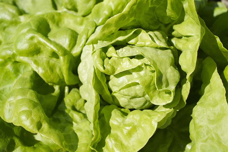A close up horizontal image of a head of 'Buttercrunch' lettuce growing in the garden pictured in light sunshine.