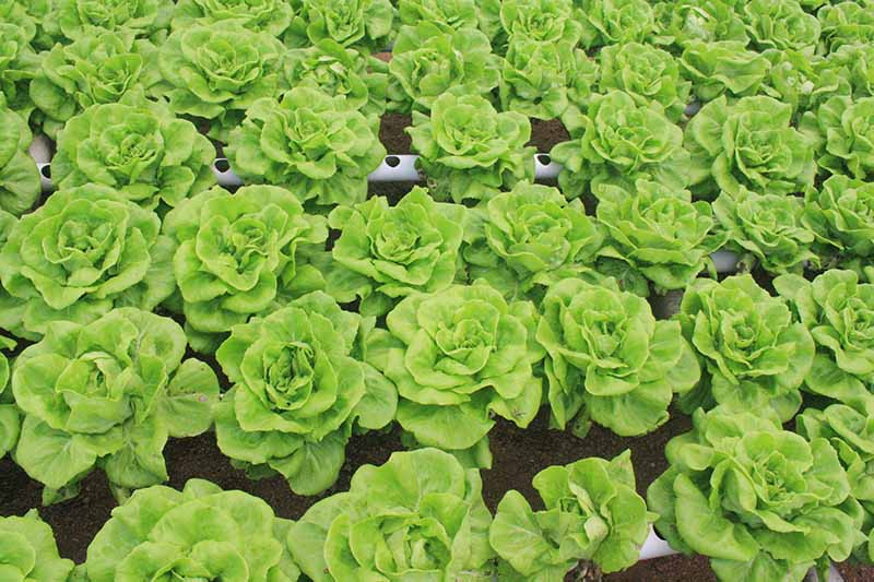 A close up horizontal image of rows of 'Buttercrunch' lettuce growing hydroponically.