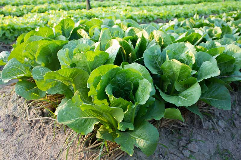 A close up horizontal image of rows of 'Buttercrunch' lettuce growing in a large vegetable patch.
