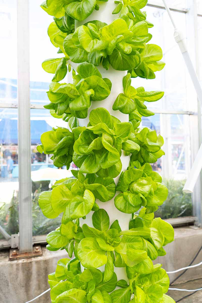 A close up vertical image of a tall vertical planter growing numerous 'Buttercrunch' lettuce heads indoors.
