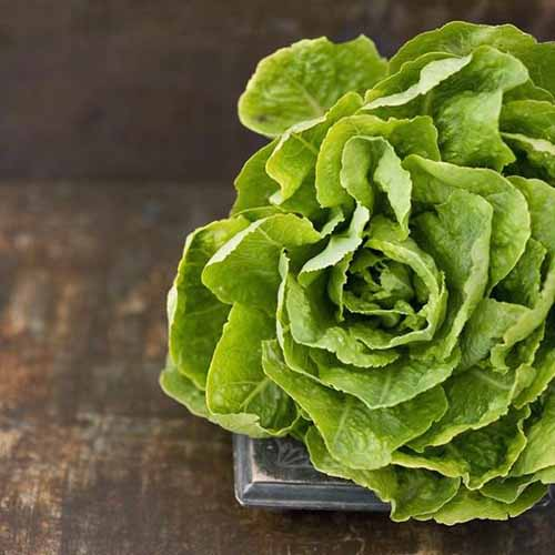 A close up square image of a head of 'Buttercrunch' lettuce set on a wooden surface.