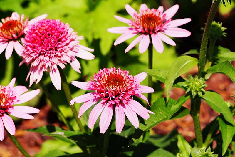 A close up horizontal image of 'Butterfly Kisses' echinacea flowers growing in the garden pictured in bright sunshine.