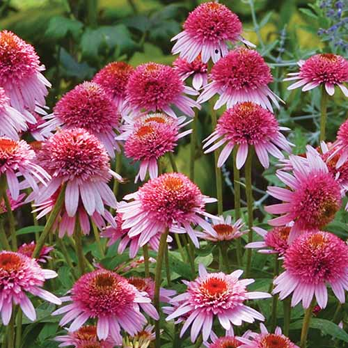 A close up square image of bright pink Echinacea 'Butterfly Kisses' flowers pictured on a soft focus background.