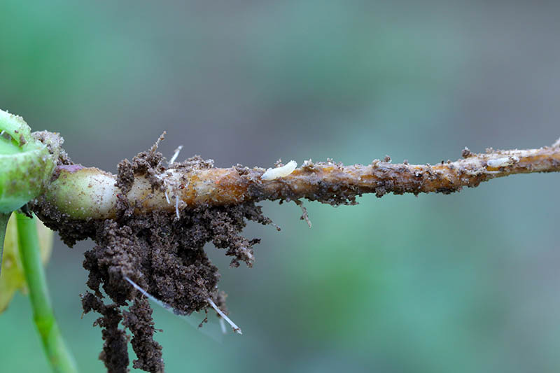 A close up horizontal image of the root of a plant dug up to show an infestation by cabbage fly larvae, pictured on a soft focus background.