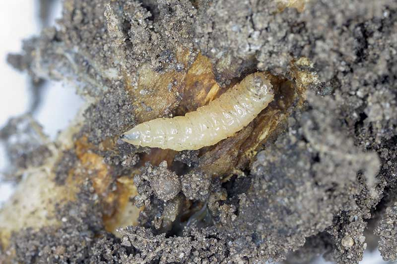 A close up horizontal image of the larvae of cabbage fly (Delia radicum) on a damaged root of a plant.