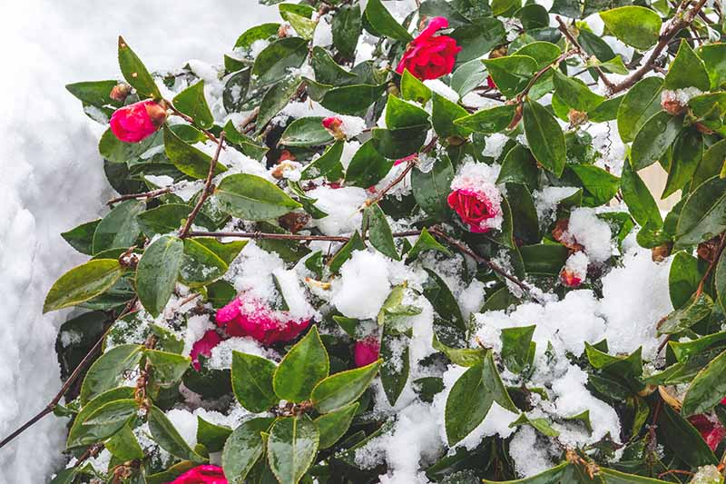 A close up horizontal image of a camellia plant with red flowers with a light covering of snow.