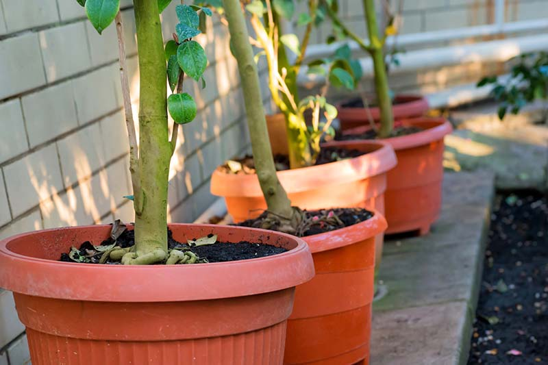 A close up horizontal image of a line of potted camellia shrubs placed in a line outside a residence.