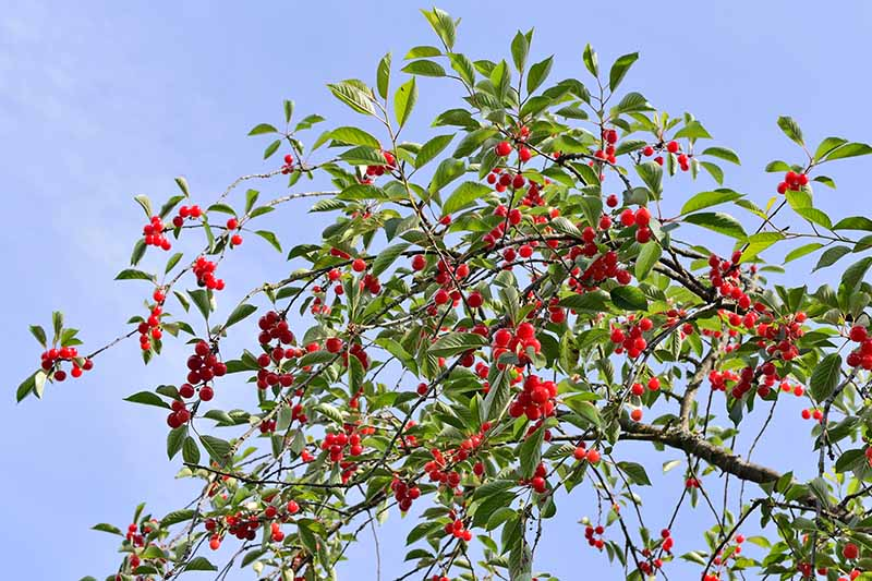 A close up horizontal image of a sour cherry tree laden with ripe red fruits pictured on a blue sky background.