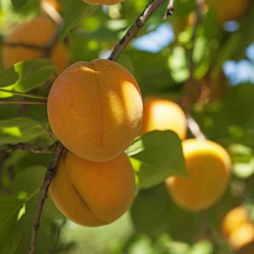 A close up square image of ripe 'Chinese' apricots growing in the garden pictured in light filtered sunshine.
