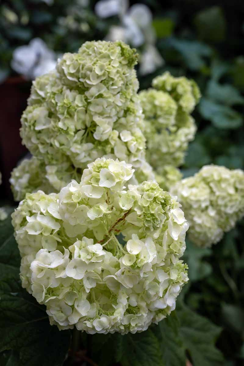 A close up vertical image of a white double petaled Hydrangea quercifolia growing in the garden pictured on a soft focus background.