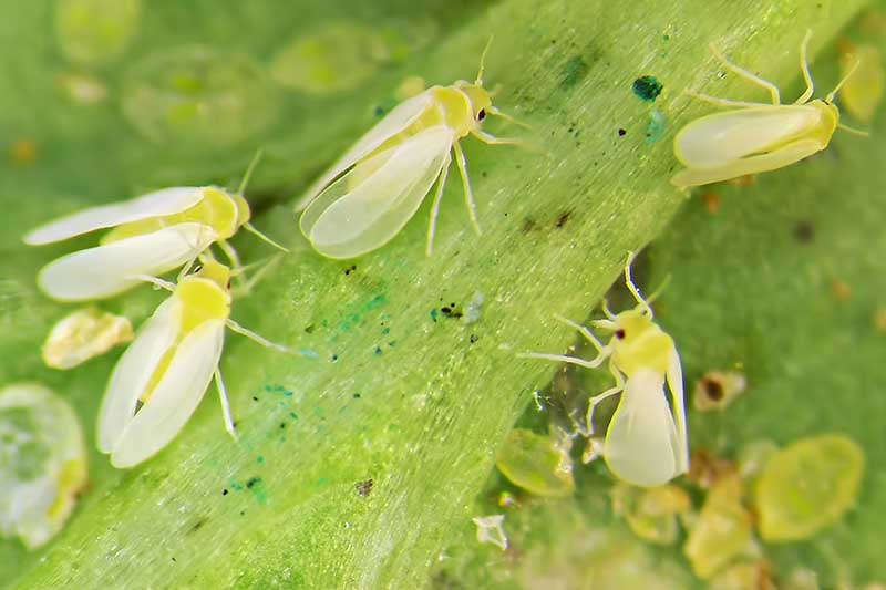 A close up horizontal image of Bemisia argentifolii insects on a plant in the garden.