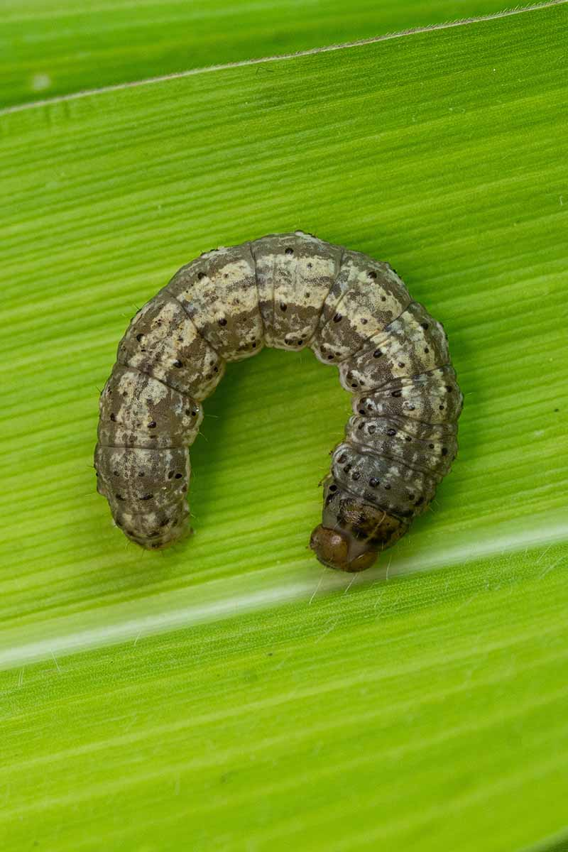 A close up vertical image of a cutworm in the shape of a C resting on a green leaf.