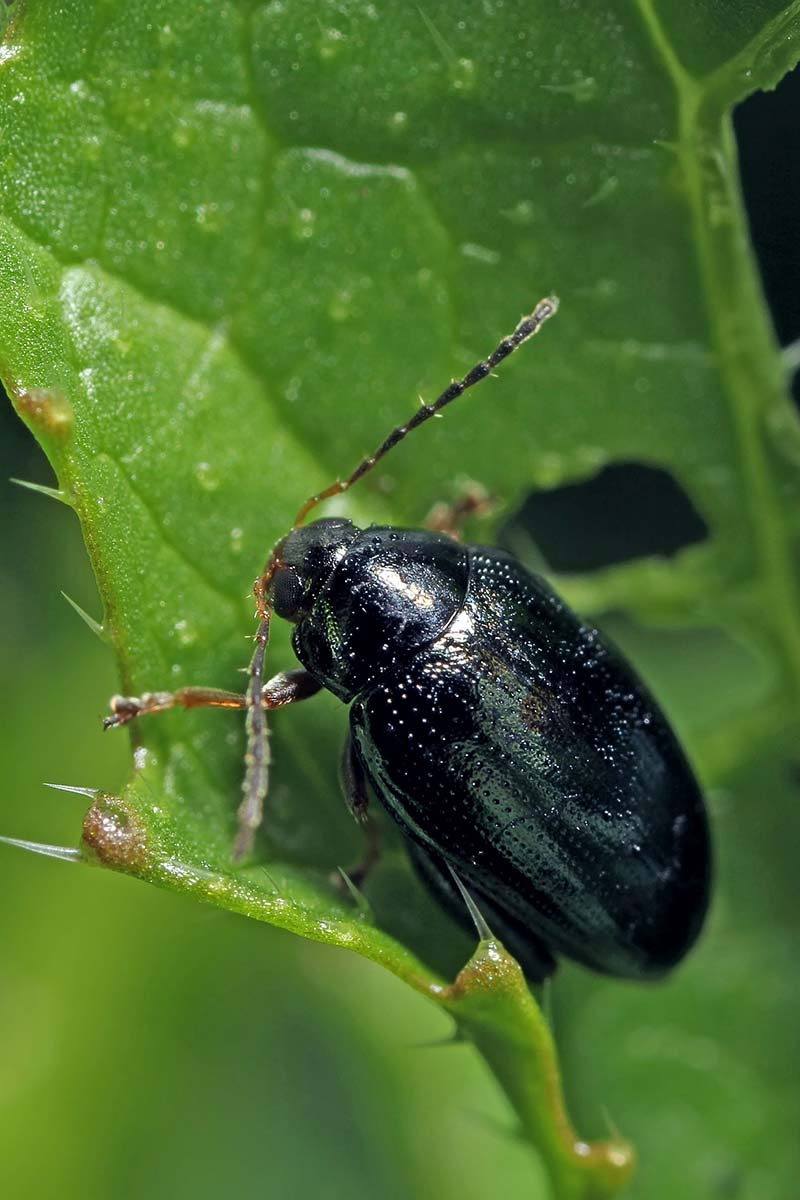 A close up vertical image of a black flea beetle infesting a green leaf.