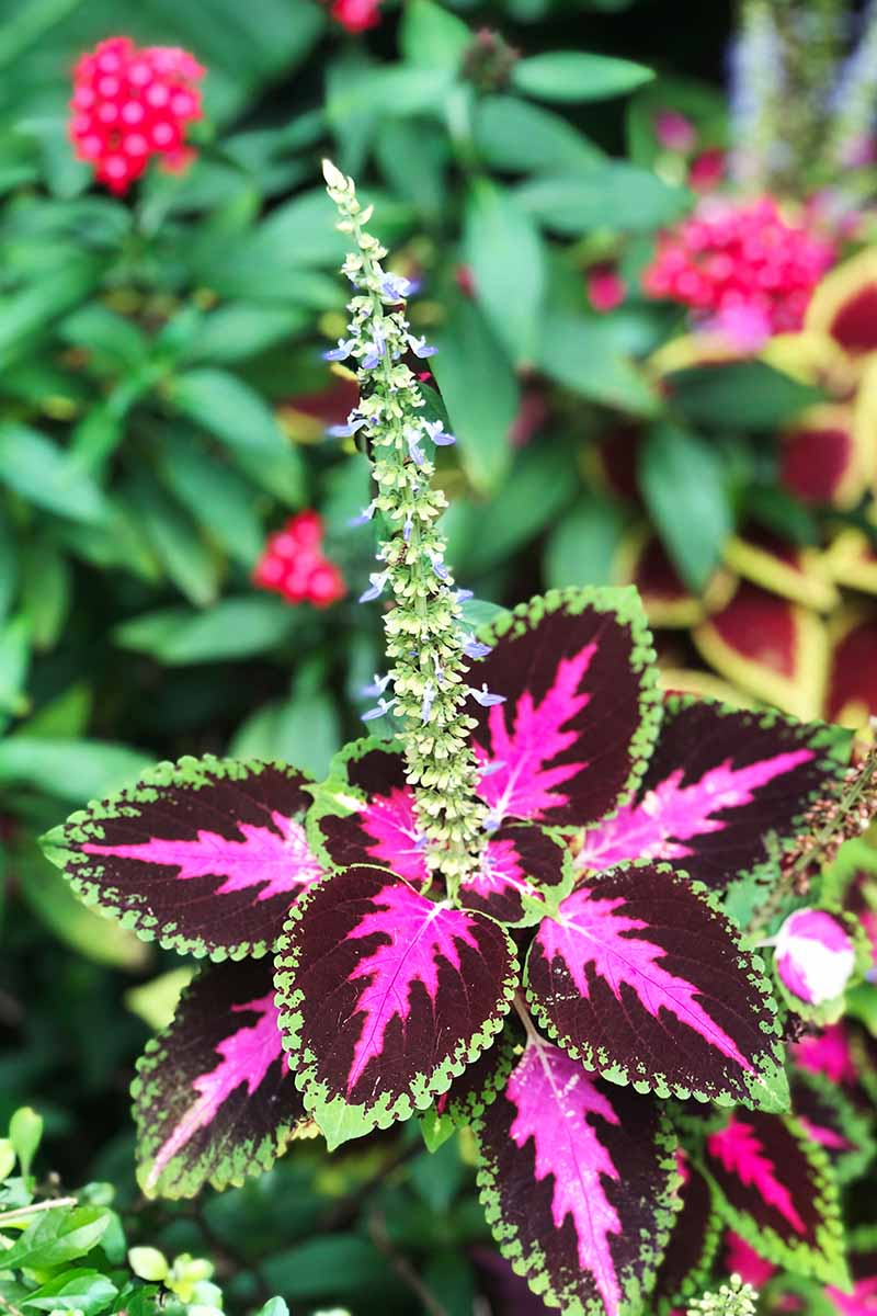 A close up vertical image of a coleus plant with a flower stalk pictured on soft focus background.