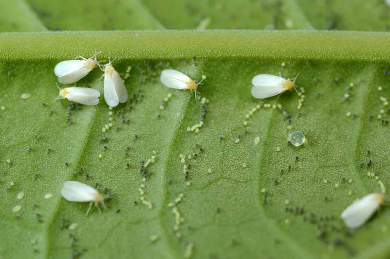 A close up horizontal image of Trialeurodes vaporariorum insects with their eggs on the underside of a leaf.