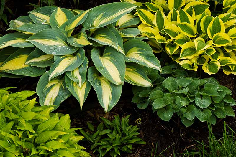 A close up horizontal image of variegated hosta plants growing in a garden border.