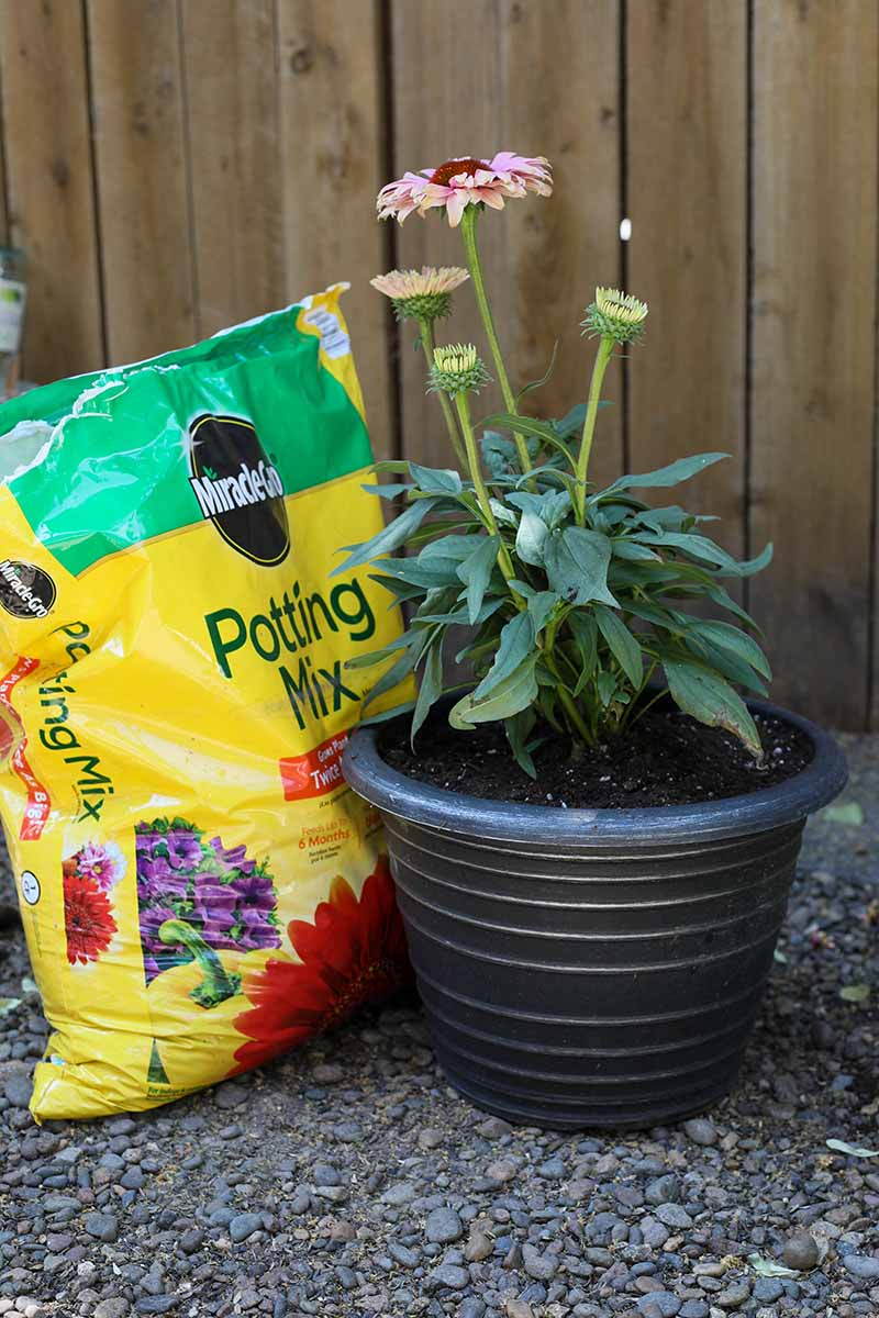 A close up vertical image of an echinacea plant growing in a black pot with a plastic bag of potting mix to the left of the frame and a wooden fence in the background.