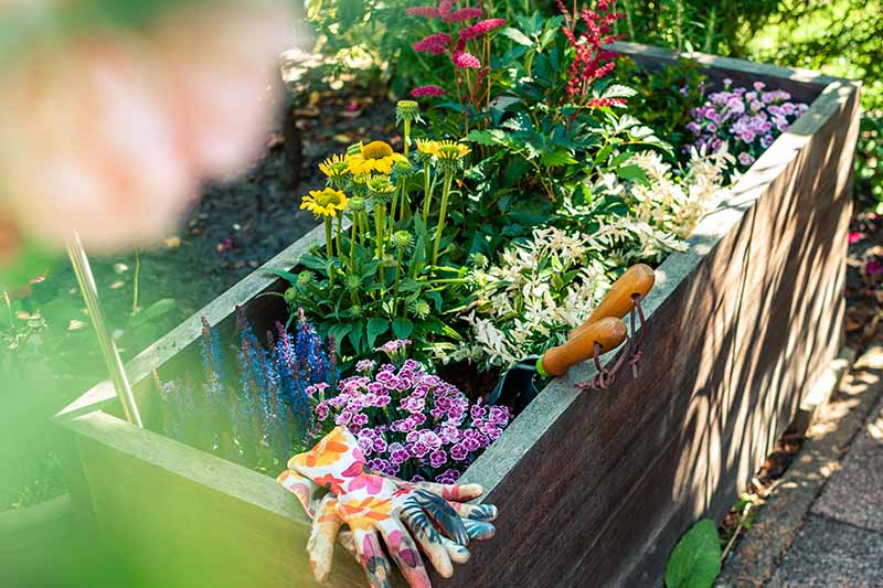 A close up horizontal image of a wooden planter containing salvia nemorosa, carnation, echinacea, astilbe, and euonymus.