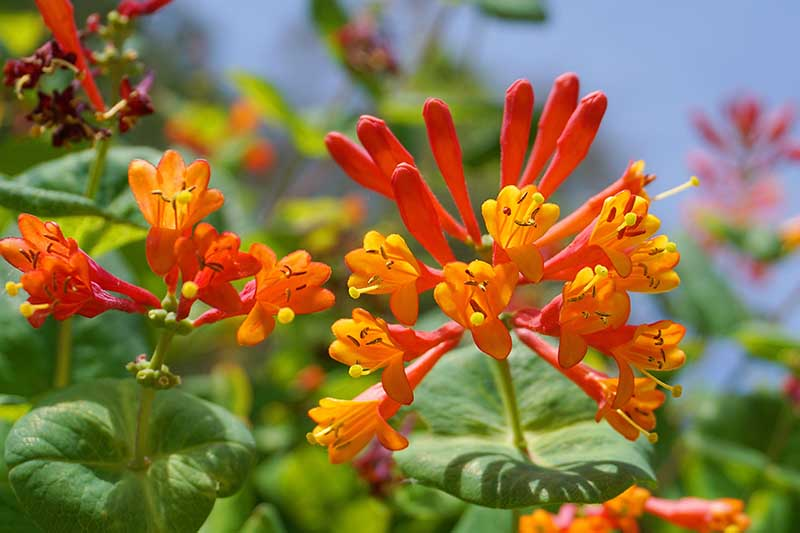 A close up horizontal image of the bright red and orange flowers of the coral honeysuckle growing in the garden pictured in bright sunshine on a blue sky background.