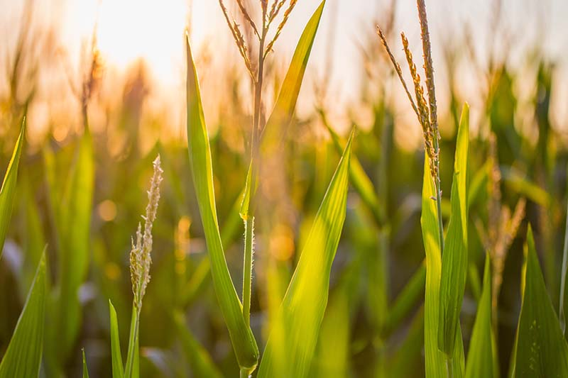 A close up horizontal image of a corn field pictured in evening sunshine.