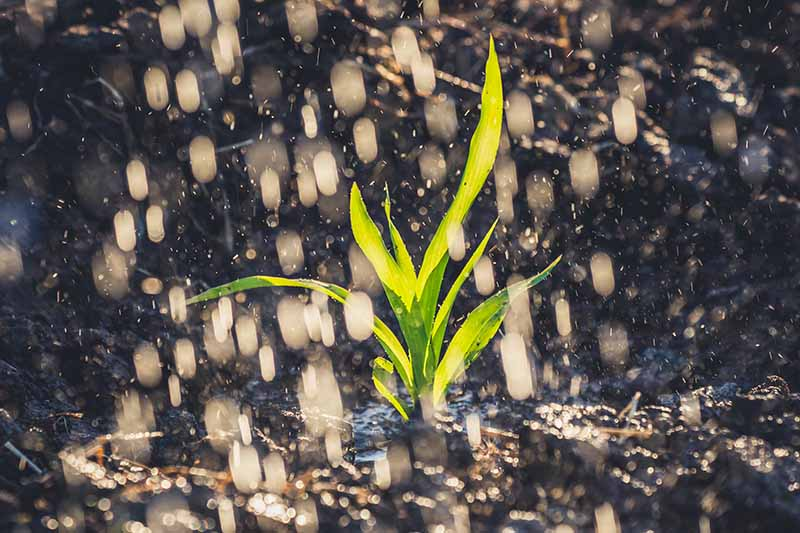 A close up horizontal image of a corn seedling growing in the garden with rain falling onto it, pictured in light sunshine.