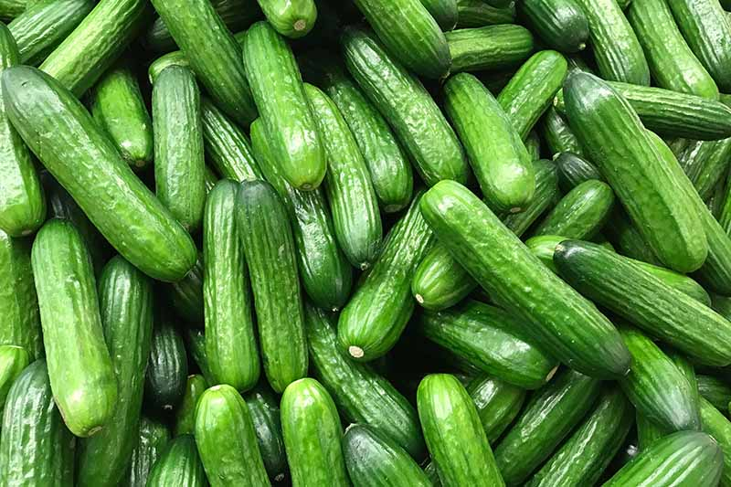 A close up background image of a pile of fresh cucumbers.