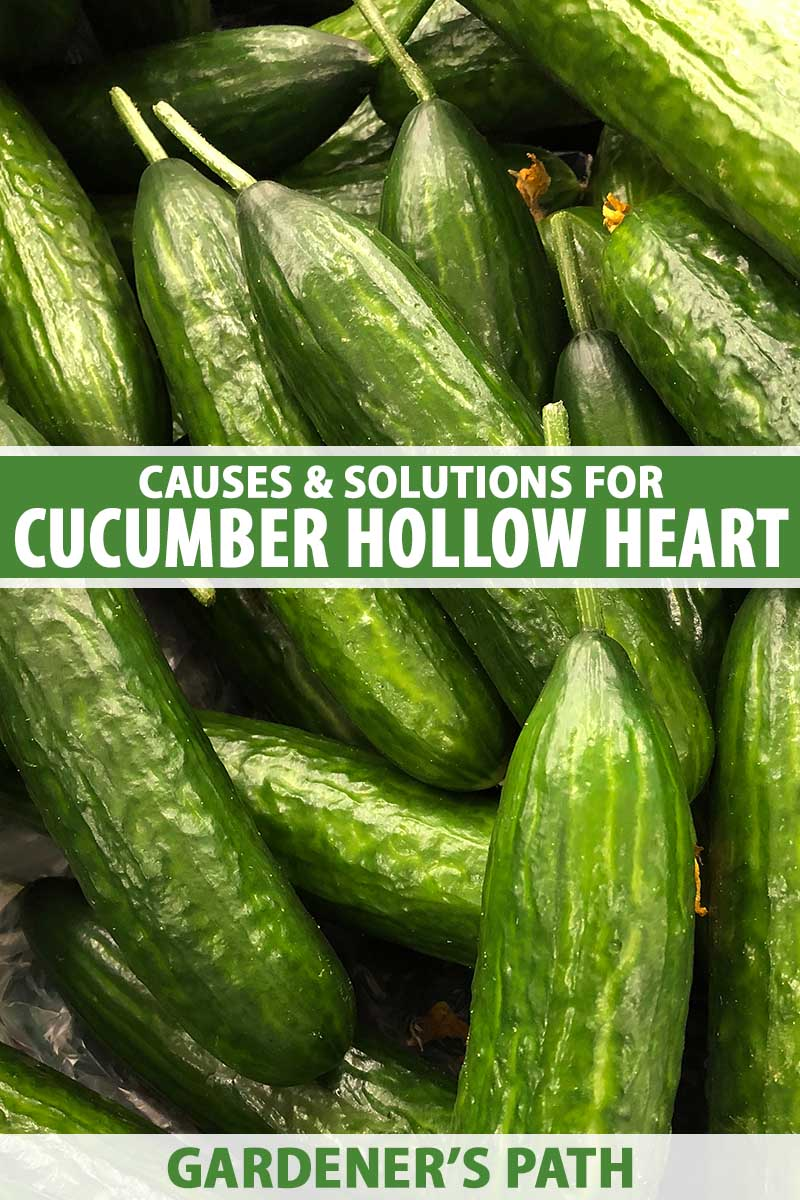 A close up vertical image of a pile of cucumbers freshly harvested. To the center and bottom of the frame is green and white printed text.