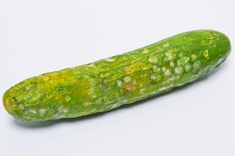A close up horizontal image of a cucumber with holes in the skin isolated on a light gray background.