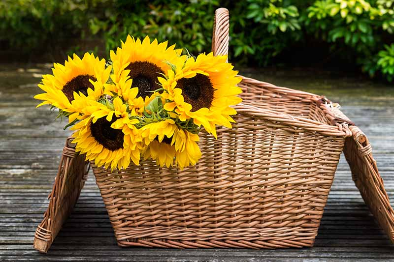 A close up horizontal image of cut sunflowers set in a wicker basket on a wooden table outdoors.