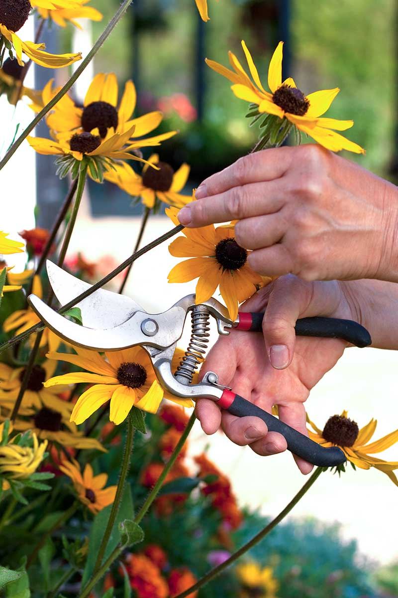 A close up vertical image of two hands from the right of the frame using a pair of secateurs to snip off a flower stalk.