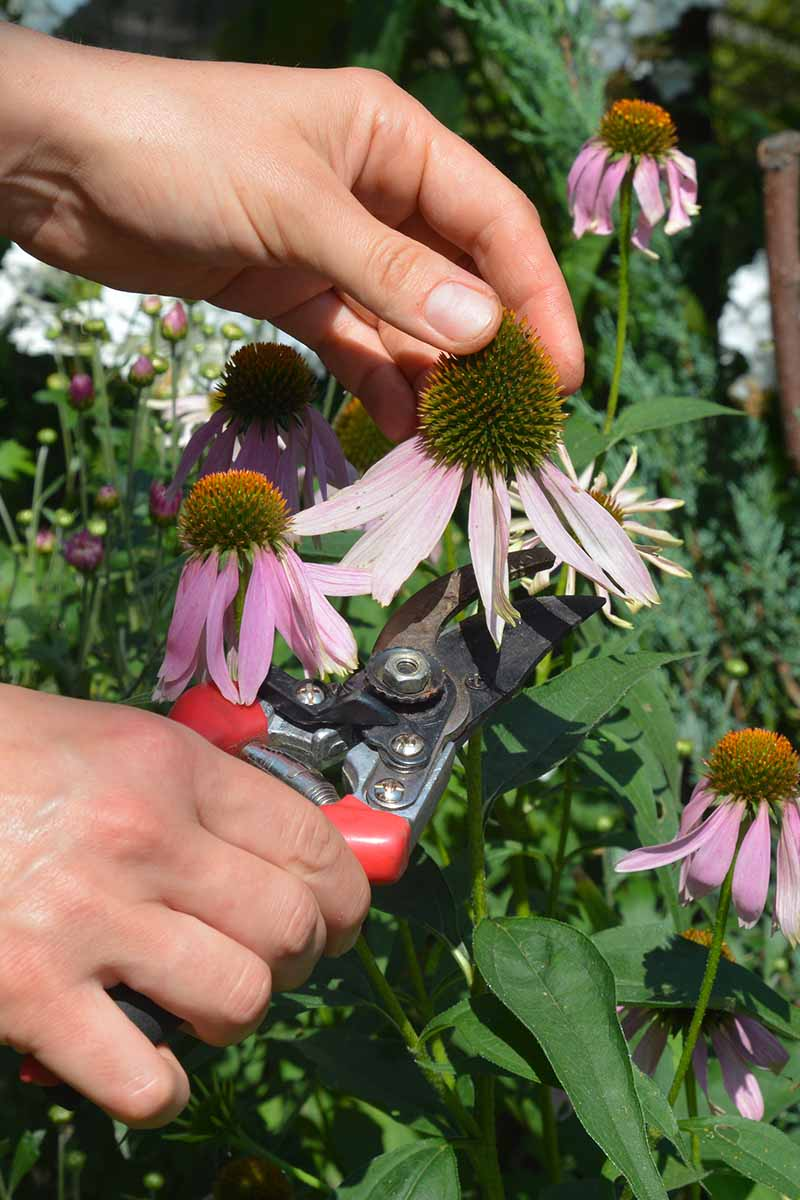 A close up vertical image of a gardener deadheading a coneflower pictured in bright sunshine.