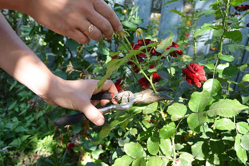 A close up horizontal image of a gardener cutting off a spent rose flower.