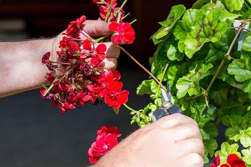 A close up horizontal image of a gardener's hands deadheading a spent geranium flower.