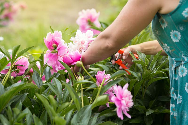 A close up horizontal image of a gardener from the right of the frame snipping off spent peonies.
