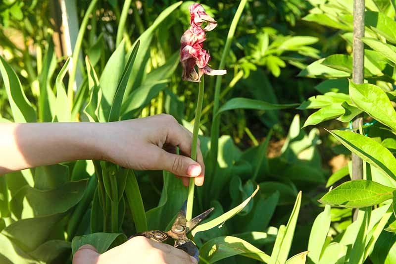 A close up horizontal image of two hands from the left of the frame snipping off a tulip flower stalk pictured in bright sunshine.