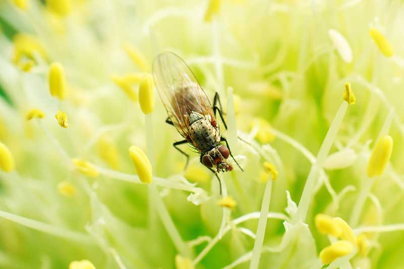 A close up horizontal image of an onion fly (Delia antiqua) on the stamens of a plant.
