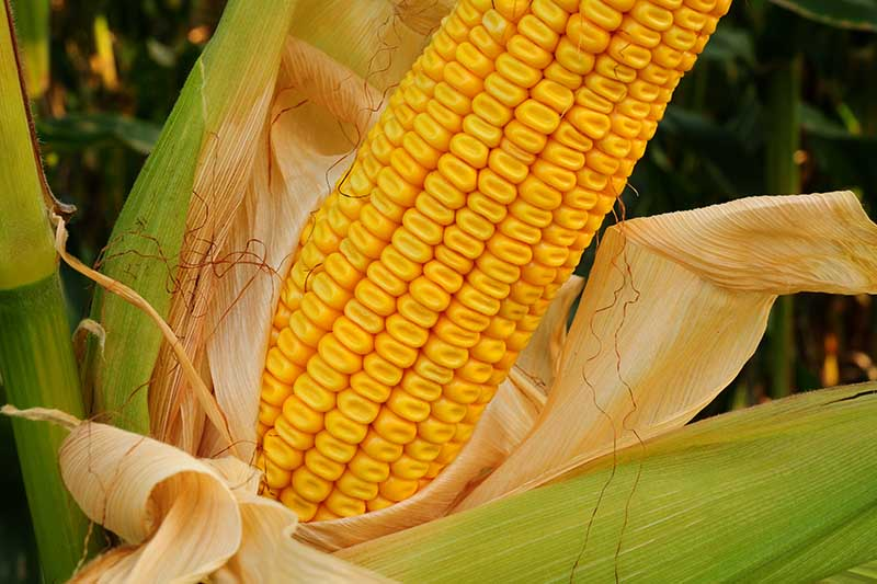 A close up horizontal image of an ear of dent corn growing in the garden.