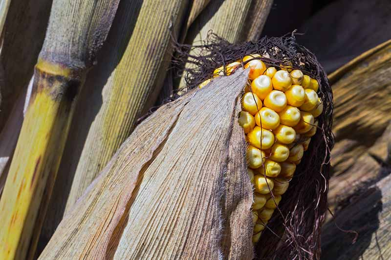A close up horizontal image of yellow field corn or dent corn with dry silk, husk, and stalks in the background.