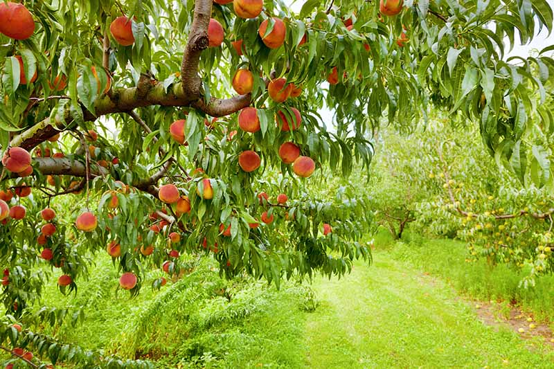 A close up horizontal image of a peach tree growing in an orchard.