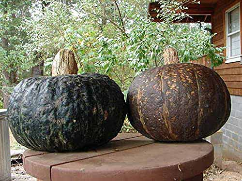 A close up horizontal image of two large 'Sweet REBA' squash set on a wooden table on a porch.