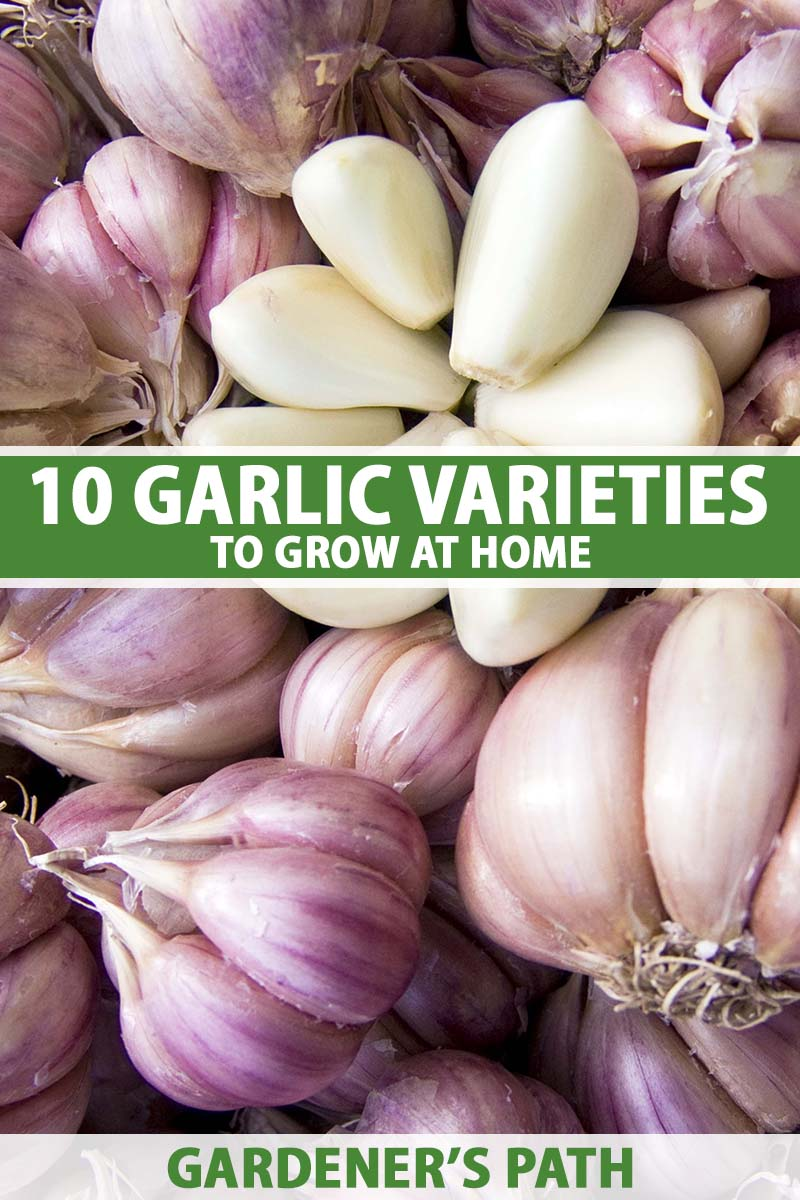 A close up vertical image of a pile of garlic bulbs and cloves. To the center and bottom of the frame is green and white printed text.