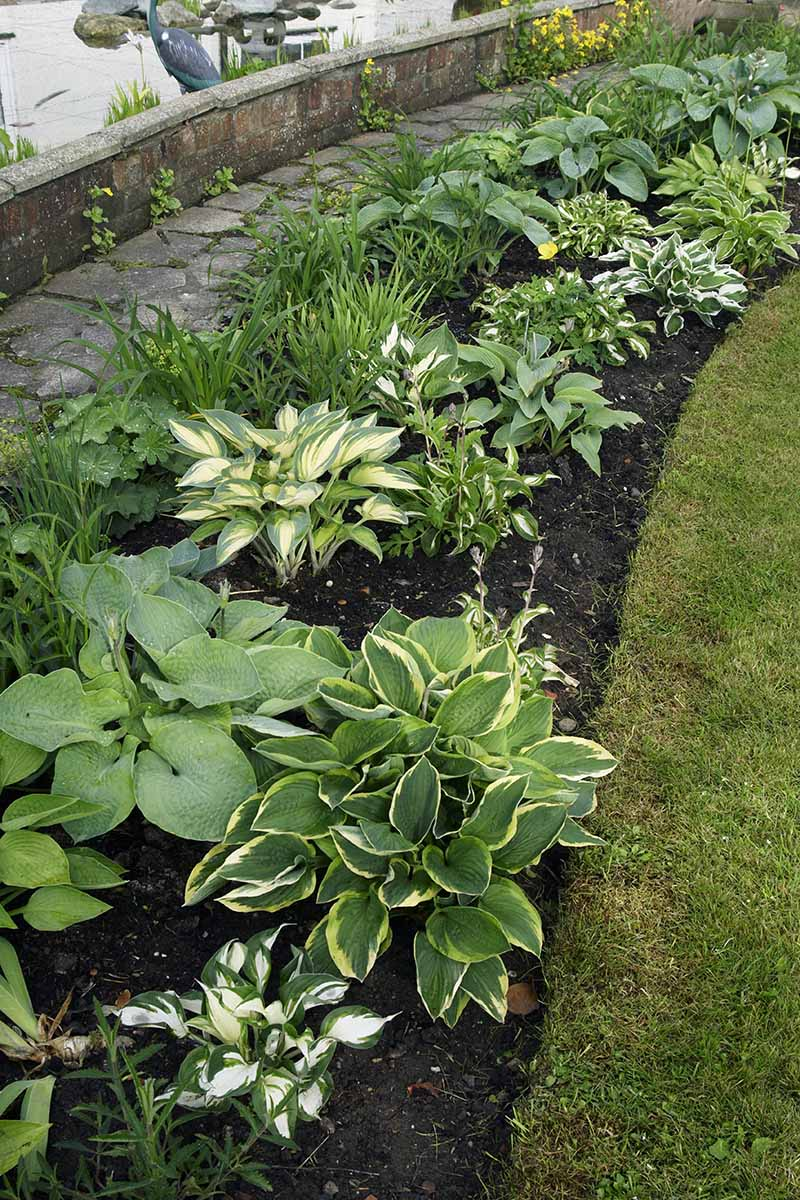 A close up vertical image of a garden border planted with hostas and other perennials next to a paved pathway.