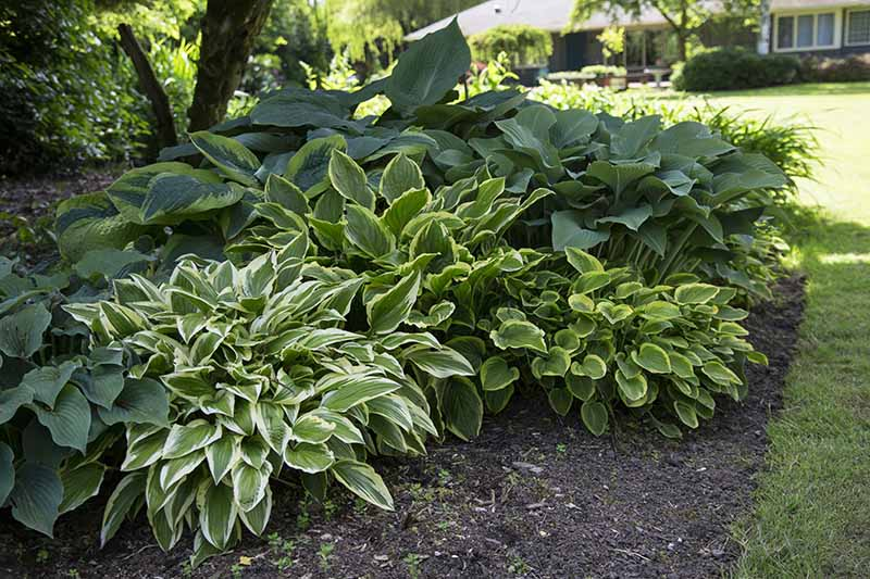 A close up horizontal image of a shady border planted with different type of hosta plants with a residence in soft focus in the background.