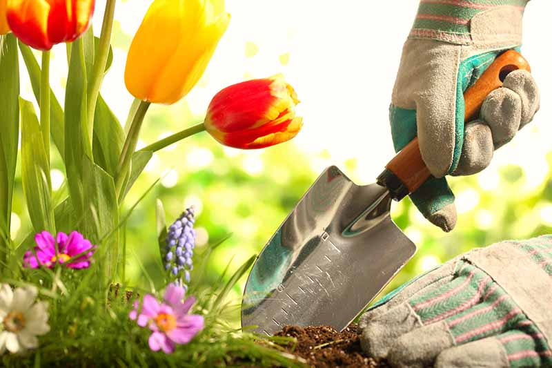 A close up horizontal image of two gloved hand from the right of the frame using a trowel to dig a hole in the soil in front of red and yellow tulips.